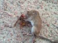 Szerszeń vs mysz