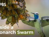 Dron udający kolibra nagrał 500-milionową kolonię pięknych motyli