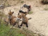 Spotkałem 4 młode liski blisko torów kolejowych - Gniezno