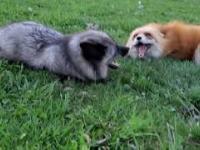 Rozmowa dwóch lisków