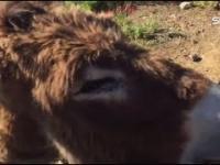 Człowiek odwiedza swojego osła po dwumiesięcznej przerwie