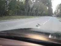 Wrona pomaga przejść jeżykowi przez jezdnie