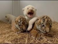 Małe Tygryski Syberyjskie