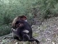 Małpa przytula zrozpaczone dziecko