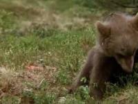Niedźwiadek zjada magiczne grzybki