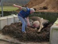 Kompostowanie krowy na farmie