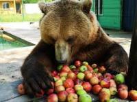Niedźwiedź dostał duuużo jabłek