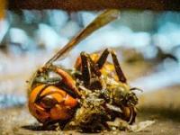 Pszczoły zabijają szerszenia przy pomocy wysokiej temperatury