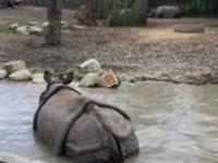 Ten nosorożec wie, jak urozmaicić komuś kolację