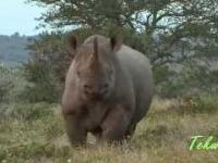 Jak zatrzymać szarżującego nosorożca