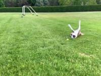 Młody pitbulla jeszcze się nie nauczył zwalniać
