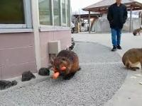 Tata bóbr niesie marchewki dla swoich najbliższych