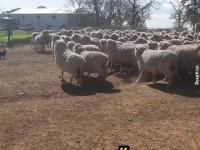 Jak pies pasterski ustawia owce w szeregu