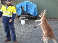 Boks z kangurkiem