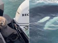 Wydra morska wdrapała się do łodzi, aby uciec przed orką
