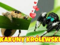 Skakuny królewskie Phidippus regius - najsłodsze pająki na świecie!
