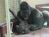 Goryle zabawy ojca z synem