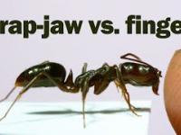 Mrówka atakującą palec