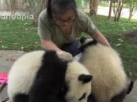 Co zrobiły pandy, kiedy opiekun sprzątał liście