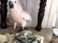 Kakadu orientuje się, że idzie do weterynarza. Wezwijcie egzorcystę!