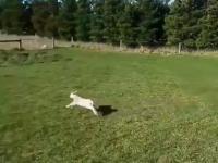 Gdy kupujesz psa do zaganiania owiec