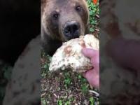 Niedźwiedź karmiony blinami