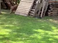 Psia zabawa z kurą