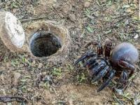 Niesamowity pająk, który buduje podziemne schrony z włazami