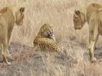 Lampart z wizyta u rodziny lwów