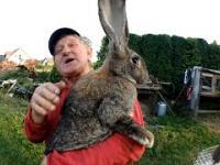 Kombajnista Bizona i jego króliki Olbrzymy