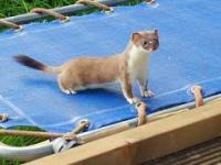 Gronostaj na trampolinie
