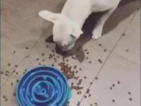 Twój pies je za szybko? Kup mu specjalną miskę