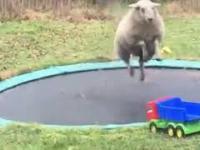 Owca po raz pierwszy na trampolinie