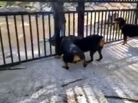 Drażnienie psów zakończone happy endem