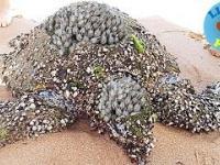 Czyszczenie żółwia