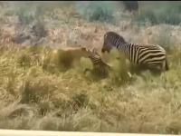 Zebra przybywa z odsieczą