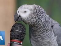 Papuga udziela wywiadu