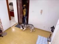 Pies Husky odbiera przesyłkę