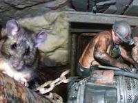 Górnik codziennie karmił dzikiego szczura. Pewnego dnia szczur uratował mu życie