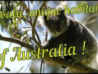 Koala, unikalny zwierzę 5 kontynencie