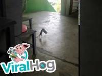 Szczur kradnie puszkę