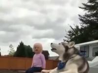 Rozgadany husky