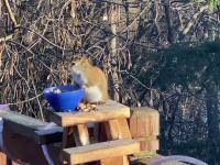 Wiewiórka jadła sfermentowane gruszki