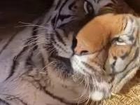 Opiekun tygrysa