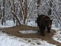 Po dwudziestu latach niewoli niedźwiedź został wypuszczony na wolność