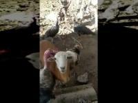 Koza próbuje zakończyć bitwę pomiędzy dwoma indykami