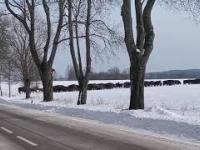 Stado żubrów przebiega przez drogę na Podlasiu