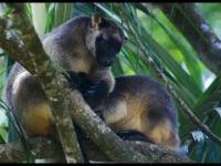 Kangury drzewne - przesympatyczne torbacze, które wkrótce mogą zniknąć