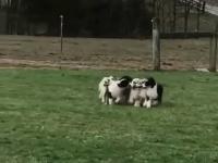 7 szczeniaków i 1 kij