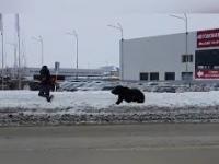 Rosja: Autobus przejeżdża niedźwiedzia